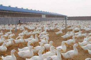 肉鸭饲养施行全进全出有什么好处