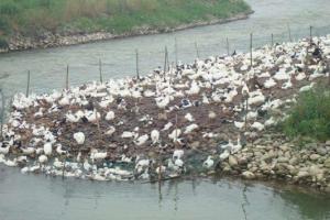 夏季养鸭要降低饲养密度