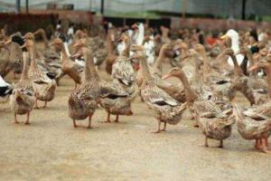 鸭软脚病的治疗方法