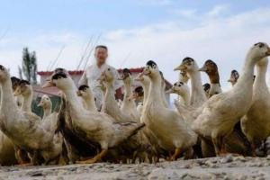 养鸭一天喂几次,鸭子一天的饲喂次数