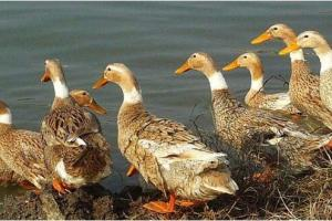 影响蛋鸭产蛋率的环境因素