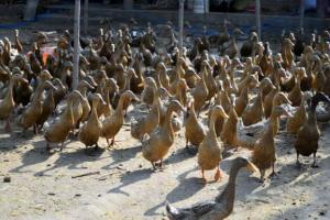 蛋鸭掉大毛的营养因素