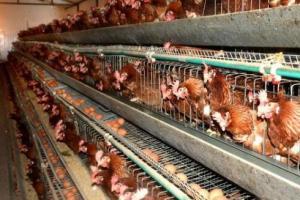 高产蛋鸡或低产蛋鸡,十个细节让低产鸡现原形