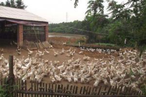 蛋鸭圈养的经验技巧,蛋鸭圈养的注意事项