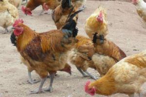 鸡只的饮水量,鸡只的正确饮水方法