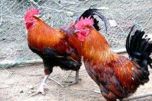 鸡舍消毒的七种方法,石灰消毒法最简便