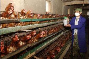 鸡舍带鸡消毒的操作方法,鸡舍带鸡消毒的注意事项