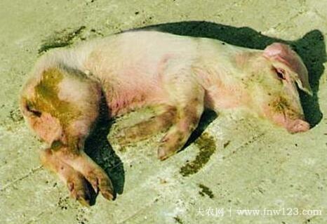 猪水样腹泻的四种类型