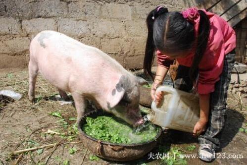 猪不吃食怎么办,小妙招让厌食猪胃口大开