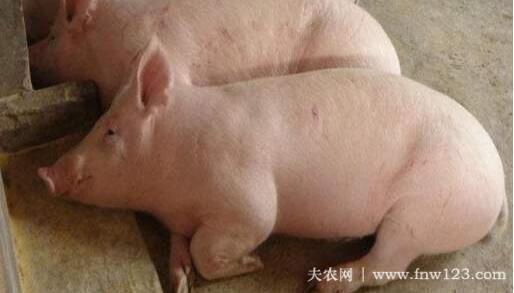 猪突然不吃食的七种原因