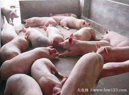 猪不吃食的五种原因,猪不吃食的快速处理方法