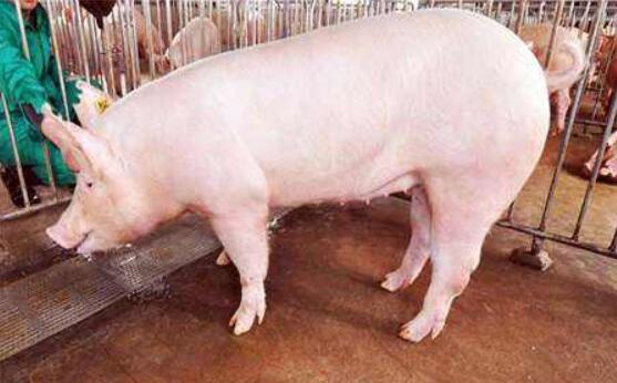 后备母猪配种的人工授精流程