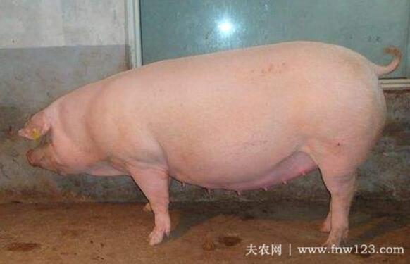 如何选留后备母猪,后备母猪的选留经验