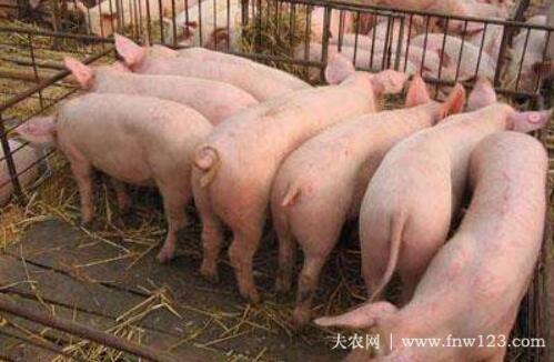 猪低温不吃食的四种原因