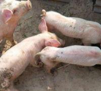 单纯腹泻苗能彻底防控猪腹泻?