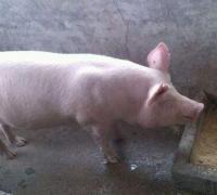 猪的直线肥育法与注意事项