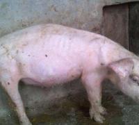 从猪的体温上判断常见猪病的方法