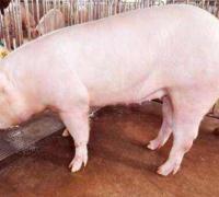后备母猪配种时人工授精操作流程