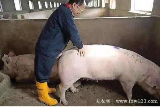母猪的发情类型与配种次数问题