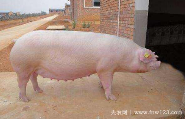 母猪查情的操作方法