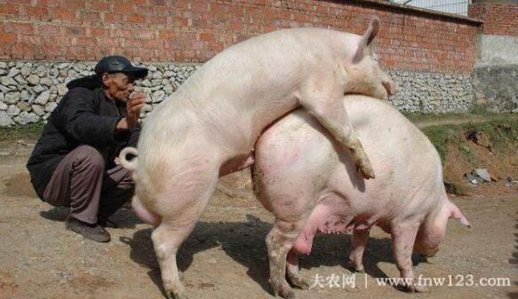 怎么给母猪配种,养猪大户谈母猪配种经验