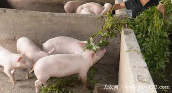 提高母猪配种成功率的好方法