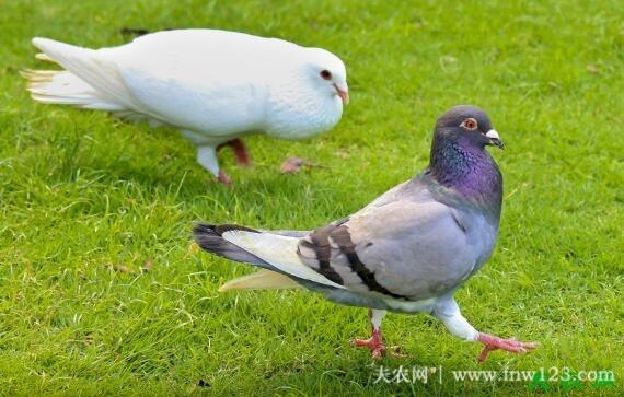 怎么判断鸽子年龄,六种方法鉴别鸽龄大小