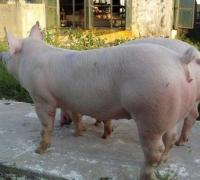 母猪配种的几点注意事项