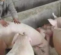 科学养猪的小技巧,养猪讲科学,越养猪越壮