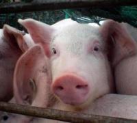 养猪的饲料成本,养一头猪饲料花费多少钱