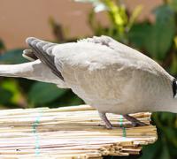 鸽子拉黄便怎么办,鸽子拉黄便的治疗方法