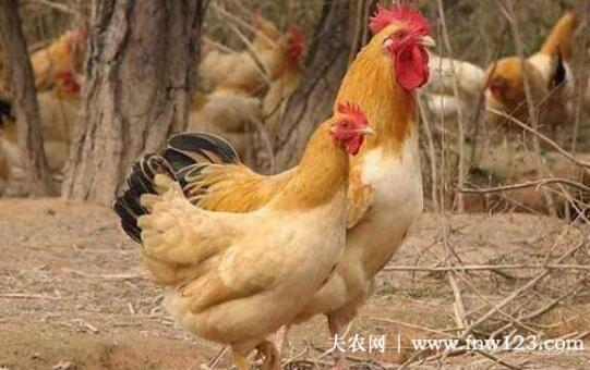 三黄鸡的养殖周期