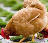 三黄鸡养殖保证足够的饮水