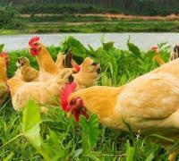 养三黄鸡要多饮水,夏天养鸡保证水分充足