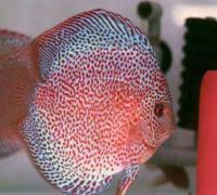 养七彩神仙鱼对水质的要求,四字标准:通透明亮