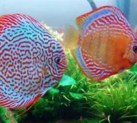 七彩神仙鱼的体型特征,七彩神仙鱼的品种特性