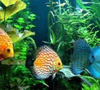 七彩神仙鱼的饲养条件,想养好七彩神仙鱼这些问题多看看