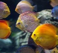 七彩神仙鱼疾病怎么防治,四种手段离不了
