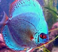 野生七彩神仙鱼的品种介绍,黑格尔七彩神仙鱼很特别
