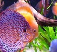 七彩神仙鱼的生活特性,七彩神仙鱼的生长特点