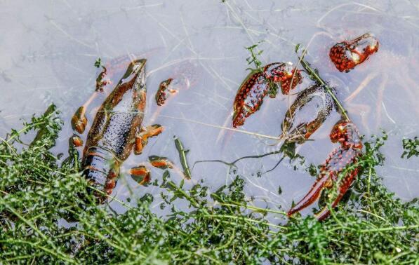 池塘养小龙虾对土壤与底泥的要求