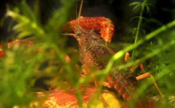 小龙虾池塘中种植水草