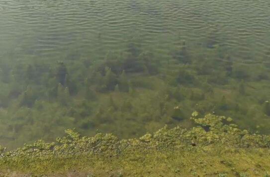 小龙虾虾池中青苔的四大危害