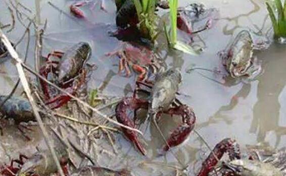 稻田养小龙虾的3个防逃办法