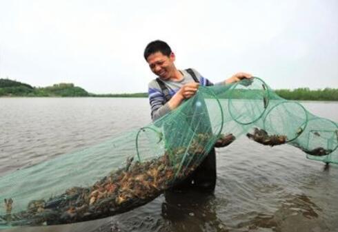 淡水小龙虾养殖三要点,水好料好小龙虾才会长得好