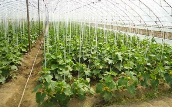 黄瓜定植前的准备工作, 黄瓜定植时的注意问题