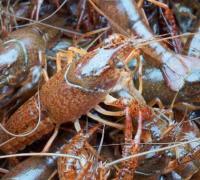 小龙虾生活习性之避光性