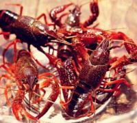 小龙虾的喜温特性