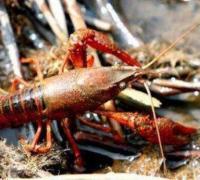 小龙虾的药敏性