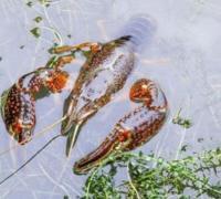小龙虾养殖的四项保暖措施